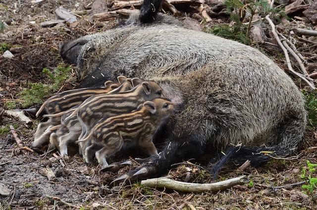 kojení divokých prasátek